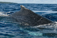 Huge close up Humpback whale back and tail going down in blue polynesian sea Royalty Free Stock Photo