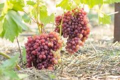 A Huge Cluster of grape on vine Stock Image