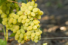 Huge cluster of white grape on grapevine Royalty Free Stock Photo