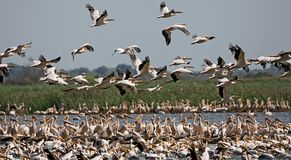 A huge cluster of white pelicans. On the island of Ermakov, Ukraine, the Danube Delta stock photo