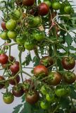 Huge clusters of burgundy cherry tomatoes in a greenhouse on a farm stock image