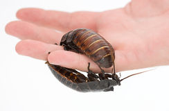 HUGE Cockroach on hand Stock Image