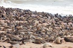 Huge colonies, Brown fur seal, Arctocephalus pusillus, Cape cros, Namibia Stock Images