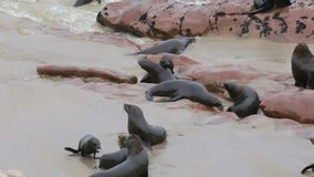 Huge colony of Brown fur seal - sea lions, Namibia, Africa wildlife stock video footage