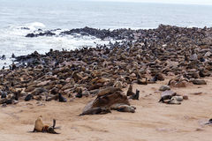 Huge colony of Brown fur seal - sea lions in Namibia Royalty Free Stock Photography