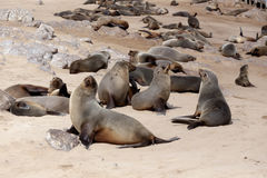 Huge colony of Brown fur seal - sea lions in Namibia Royalty Free Stock Photos