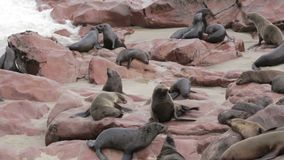 Huge colony of Brown fur seal - sea lions in Namibia stock video footage