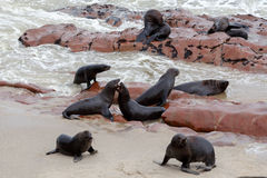 Huge colony of Brown fur seal - sea lions in Namibia Royalty Free Stock Image