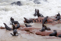 Huge colony of Brown fur seal - sea lions in Namibia Royalty Free Stock Images