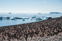 Huge colony of Gentoo penguins Stock Photos