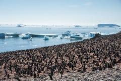 Huge colony of Gentoo penguins Stock Photos
