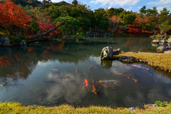 Huge colorful fish swimming in a beautiful Japanese pond during autumn Stock Image