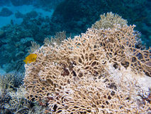 Huge coral with a small yellow fish Royalty Free Stock Photography