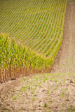 Huge cornfield Royalty Free Stock Image