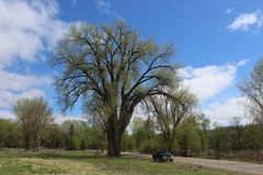 A Huge Cottonwood Tree and a Black Pickup Truck. A pickup truck is dwarfed by a massive cottonwood tree. White clouds and a blue sky on a beautiful spring day royalty free stock photo
