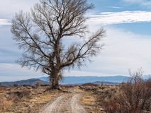 Huge Cottonwood Tree. Road skirts around a huge Cottonwood Tree, Mason Valley National Wildlife Refuge royalty free stock photo