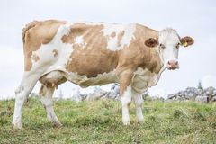 Huge cow standing and looking at camera Stock Photos