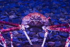 Huge crab Stock Image