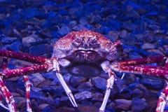 Huge crab Stock Image