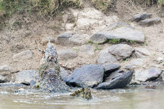 Huge crocodile chewing antelope Stock Photo