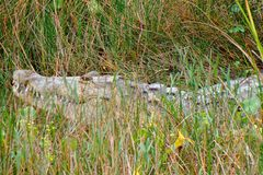 Huge crocodile hiding in the grass Royalty Free Stock Images