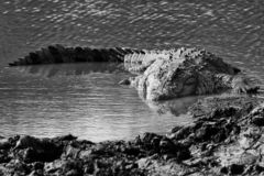 A crocodile by the river. stock photo