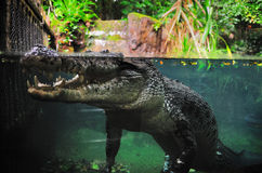A huge crocodile in Singapore zoo Royalty Free Stock Photos