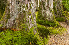 Huge cryptomeria trees. Huge bases of the cryptomeria trees Stock Images