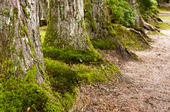 Huge cryptomeria trees. Huge bases of the cryptomeria trees Royalty Free Stock Photos
