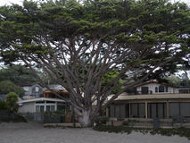 Huge cypress tree in front of a beach house Stock Photography
