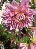 Huge Dahlia. Huge pink blossom of a dahlia is the size of a dinner plate, nods in the sun Stock Images
