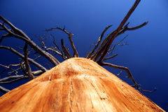 Huge dead giant tree in the forest Royalty Free Stock Image