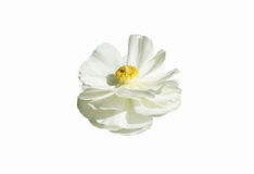 Beautiful white flower. On a white background Stock Photography