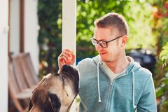 Huge dog eating biscuit. Huge dog begging for a biscuit. Young man playing with cane corso dog in the garden Stock Image