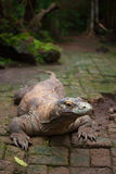 Huge dragon of Komodo Stock Photo