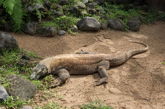 Huge dragon of Komodo Stock Images