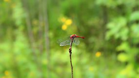 Huge dragonfly on a branch in the field. stock images