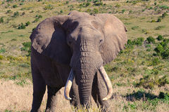 Huge elephant bull. Elephant bull in south africa, with long tusks Stock Photography