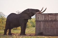 Huge elephant bull drinking water royalty free stock photography