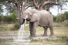 Huge elephant bull takes his oral douche. A huge elephant bull takes his oral douch in the Okavango Delta of Botswana Stock Photo