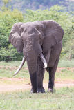 Huge elephant bull walking in the hot sun away from water Royalty Free Stock Images