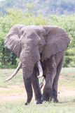 Huge Elephant Bull Walking In The Hot Sun Away From Water Stock Image