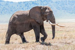 Huge elephant bull walking in Ngorongoro Crater in full view Royalty Free Stock Image