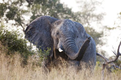 Huge elephant coming very close Stock Photography