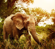 Huge elephant outdoors Stock Photo