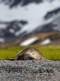 Huge elephant seal facing camera royalty free stock images