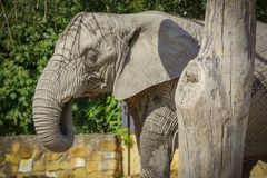 Huge Elephant Walk royalty free stock photo