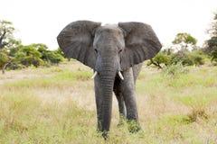 Huge Elephant Stock Photo