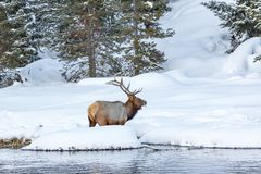 Huge elk with large rack of antlers stands in deep snow. In Yellowstone National Park royalty free stock photography