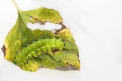 Huge emerald green caterpillar royalty free stock photos